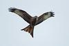 Red Kite In Flight (Hugobian) Tags: bird birds prey nature wildlife fauna stilton flight pentax k1 red kite