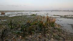 Tape seagrass (Enhalus acoroides) still cropped (wildsingapore) Tags: seagrasses enhalus acoroides island singapore marine intertidal shore seashore marinelife nature wildlife underwater wildsingapore