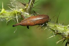 Lixus sur Cirsium (Lixus pulverulentus ?) (chug14) Tags: unlimitedphotos macro insecte animalia arthropoda hexapoda insecta curculionoidea curculionidae lixinae lixini lixus