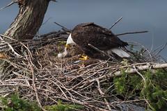 Bald Eagle (Martin Dollenkamp) Tags: vancouverisland britishcolumbia birds canada eagle baldeagle haliaeetusleucocephalus denman