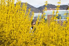 Hidden in the Forsythia (aaronrhawkins) Tags: shrub bloom yellow jessica girl byu brighamyounguniversity provo utah campus university college spring flower aaronhawkins