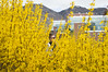 Hidden in the Forsythia (aaronrhawkins) Tags: shrub bloom yellow jessica girl byu brighamyounguniversity provo utah campus university college spring flower aaronhawkins