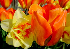 Sunday Greetings! Happy Earth Day! (peggyhr) Tags: peggyhr tulips yellow orange green closeup dsc09852ab vancouver bc canada rainbowofnaturelevel1red carolinasfarmfriends thegalaxy april222018 earthday thelooklevel1red thelooklevel2yellow thegalaxylevel2