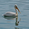 Pelican.... (Photo_hobbyist) Tags: pelican lake kastoria nature