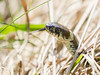 A careful branch - Ein vorsichtiger Ast (Uli) (Uli-Joe) Tags: canonef100400mmf4556lisiiusm canoneos7d gras grasssnake nahaufnahme natrixnatrix ringsnake ringelnatter wildlebendestier wildlifeanimal winzlar closeup reptilien reptiles