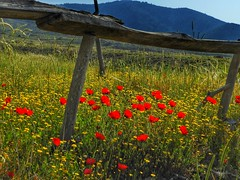 poppies everywhere (panoskaralis) Tags: poppies red green yellow blue bluesky grass nature wood wooden outdoor mountains mountainview mountainside lesvos lesvosisland mytilene greece greek greeknature greeksummer hellas hellenic his counry sc