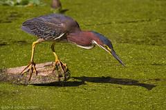 Shadow Of A Doubt (Doug Scobel) Tags: green heron butorides virescens circlebbar reserve