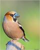 Hawfinch (fausto.deseri) Tags: sestofiorentino toscana italia it coccothraustescoccothraustes hawfinch frosone wildlife nature bird wildanimals parcodellapiana nikond7100 nikkor300mmf28afsii nikontc20eii faustodeseri