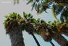 Photo00082 (KarenVázquezPhotography) Tags: tree sky palmeras palmas blue green nature naturaleza