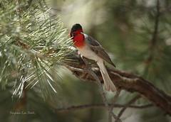 Elevation 9,157 Ft (slsjourneys) Tags: warbler redfacedwarbler mtlemmon