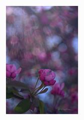 _DSC0034 (smoothna) Tags: smoothna nature blooming pink macro