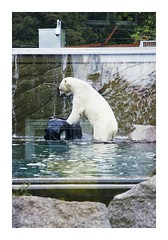 _JP19894 (Jordane Prestrot) Tags: ♊ jordaneprestrot mulhouse zoo desseincaptif captivedesign oursblanc polarbear osopolar osoblanco pneu tyre neumático
