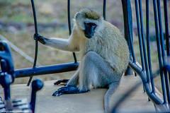 2017.06.23.3235 Vervet Monkey (Brunswick Forge) Tags: 2017 safari tanzania africa grouped serengeti nature wildlife favorited