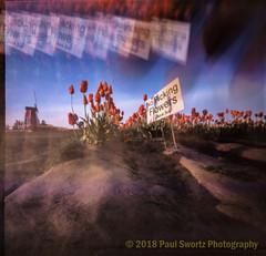 Pinholing Tulips (Paul Swortz) Tags: 2018 color film flowers iso50 pinhole slidefilm spring swortz tulips velvia50 woodenshoetulipfestival zeroimage 6x6
