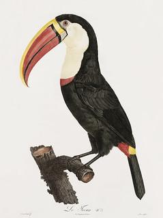Toucan from Histoire Naturelle des Oiseaux de Paradis et Des Rolliers (1806) by Jacques Barraband (1767-1809).