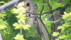 Baby Hairy Woodpecker (Neil DeMaster) Tags: banpesticides babyhairywoodpecker conservation conservewildlife conservenature bird babywoodpecker babybird keepourairclean nature naturephotography protectwildlife protectnature protectourenvironment wildlife wildlifephotography woodpecker hairywoodpecker