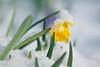 Daffodils in the Park (pallab seth) Tags: macro dof spring flower barking park england london signofspring bokeh nature daffodil garden springgarden barkingpark yellow blue 2018 samsung60mmf28macroedoisssalens samsungnx1 snow ice
