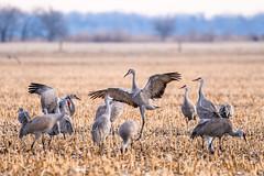 _D855636 (jrash168) Tags: sandhillcranes birds cranes nebraska wildlife nikon d850