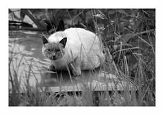 """""""Fable Du Matou & De La Scirocco"""" (The Blue Water Lily's Company) Tags: fdrouet nb bw monochrome monochrom chat cat nikon d90"""