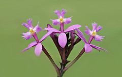 Calvary 005 (DMT@YLOR) Tags: orchid easter crucifixorchid cross flower plant jesus thieves die death agony celebrate sad friday remember green pink goodna queensland ipswich australia nature contrast garden nautre