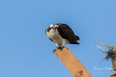 Osprey guards its meal