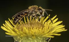 Sweat bee I think (stevenbailey7) Tags: new bee bees insects wildlife lasioglossum flowers yellow closeup summer nikon tamron nature garden flower naturaleza