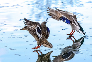 landing on mirrored water