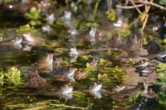 Frog Soup - 1 of 3 images (willjatkins) Tags: frog frogs frogsspawning frogspawn frogspawning frogsandtoads europeanwildlife europeanamphibians britishwildlife britishamphibiansandreptiles britishreptilesandamphibians britishamphibians ukwildlife ukreptilesandamphibians ukamphibiansandreptiles ukamphibians hertfordshirewildlife commonfrog ranatemporaria rana gardenwildlife gardenponds gardenpondwildlife urbanwildlife nikond7100 springwildlife spring