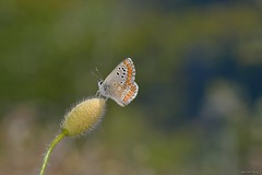 Aricia cramera Eschscholtz, 1821 (Jesús Tizón Taracido) Tags: lepidoptera papilionoidea lycaenidae polyommatinae polyommatini ariciacramera