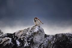 (lucamarasca1) Tags: cacciafotografica sugma150500 150500 sigma mothernature wild wildlife uccelli d5500 nikon birds nature birdwatching