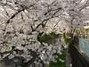 18o1714 (kimagurenote) Tags: 桜 sakura ソメイヨシノ prunus cerasus cherry blossom flower 二ヶ領用水 nikaryoyosui 川崎市多摩区 宿河原 shukugawara tamakawasaki