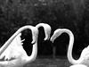 Quiet Contemplation (kitwilliams91) Tags: flamingo trio wwtslimbridge birds canon 5div 70200mm ef2xii gloucestershire uk england