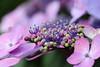 ajisai macro (* Yumi *) Tags: ajisai macro hydrangea マクロ アジサイ 紫陽花 高幡不動 flower