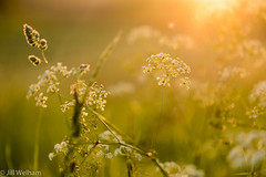 Sunset Bokeh (Mirrored-Images) Tags: bokeh closeup cowparsley depthoffield flora flower macro nature northyorkshire outdoor sunset wildflower