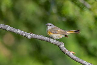 American Redstart (Fem)