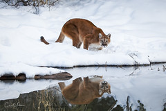 Mountain Lion (blackhawk32) Tags: cougar montana mountainlion panthers puma winter snow reflection