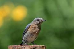 Merlebleu de l'Est, (9) (boisvertvert1) Tags: merlebleudelest easternbluebird michelboisvert 2018 oiseaux oiseauxduquébec birds wildlife canon canon70d canada québec