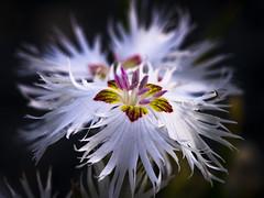 180618-0664 _Wuhle_PS_ (Pixel-Cat) Tags: nelke carnation blume blüte flower blossom pflanze plant makro macro hellersdorf berlin olympus omd em5 mzuiko60mm128macroedmsc