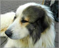 "Introducing "" Merlin "" (** Janets Photos **) Tags: uk eastyorkshire beverley canine dogsdogbreeds pyrenessmountaindog macro closeups"