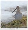 Bécassine de Wilson / Wilson's Snipe 153A6761 (salmo52) Tags: oiseaux birds salmo52 alaincharette bécassinedewilson wilsonssnipe victoriaville charadriiformes scolopacidés scolopacidae gallinagodelicata