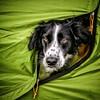 Le beau Jamie (Isa-belle33) Tags: chien dog chiens dogs border bordercollie animal animaux fujifilm colors couleurs fujix30 portrait portraiture