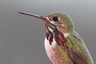 Portrait, Calliope Hummingbird