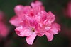 _MG_7896 (chazheng) Tags: flower beautiful floral fantasy attraction closeup flickr beauty bokeh macro canon fullframe love colorful nature garden azalea