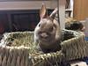 福助くん (ココロのおうち) Tags: rabbit bunny pet 動物 うさぎ ペット うさぎ専門店 ココロのおうち うさぎラブ