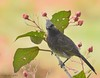 Red Vented Bulbul (Raja_Saha) Tags: birds bulbul tripura india nature nikon photography wildlife