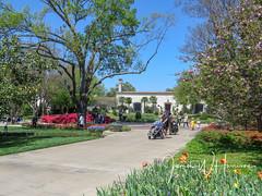 Spring at the Arboretum - 2018 (gttexas) Tags: 2018 arboretum azalea cherryblossoms dallas degolyer tx texas flower tulip usa
