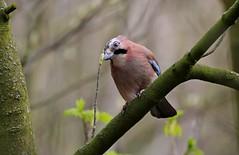 Formby Jay (Taracy) Tags: formby national trust park liverpool jay bird england merseyside woodland