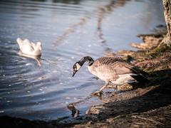 Lake (AdventurousPiece) Tags: panasoniclumixgh5 goose metabones speedbooster ultra sigma50100mmart