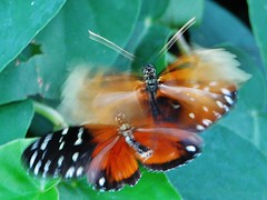 Heliconius hecale butterflies flirting with each other 007 (Tangled Bank) Tags: in butterfly house florida museum natural history university camous gainesville insect lepidoptera heliconius hecale butterflies flirting with each other 010