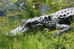 Prehistoric! (Gunn Shots.) Tags: alligator americanalligator gator bayou lafayette louisiana